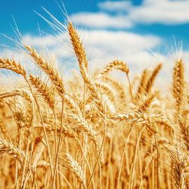 Un autunno d'oro per i seminativi con Condifesa
